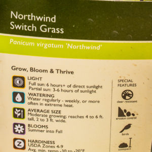 Northwind Switch Grass