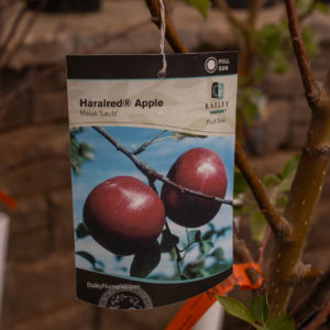 Haralred Apple Tree