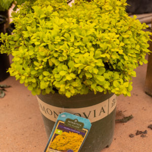Golden Nugget Dwarf Japanese Barberry