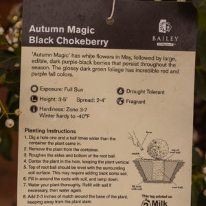 Autumn Magic Black Chokeberry