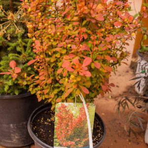 Orange Rocket Barberry