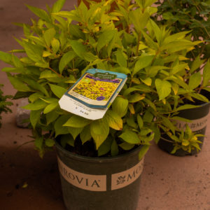 Golden Jackpot Weigela