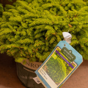 Little Gem Norway Spruce