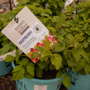 Raspberry  Shortcake Bush